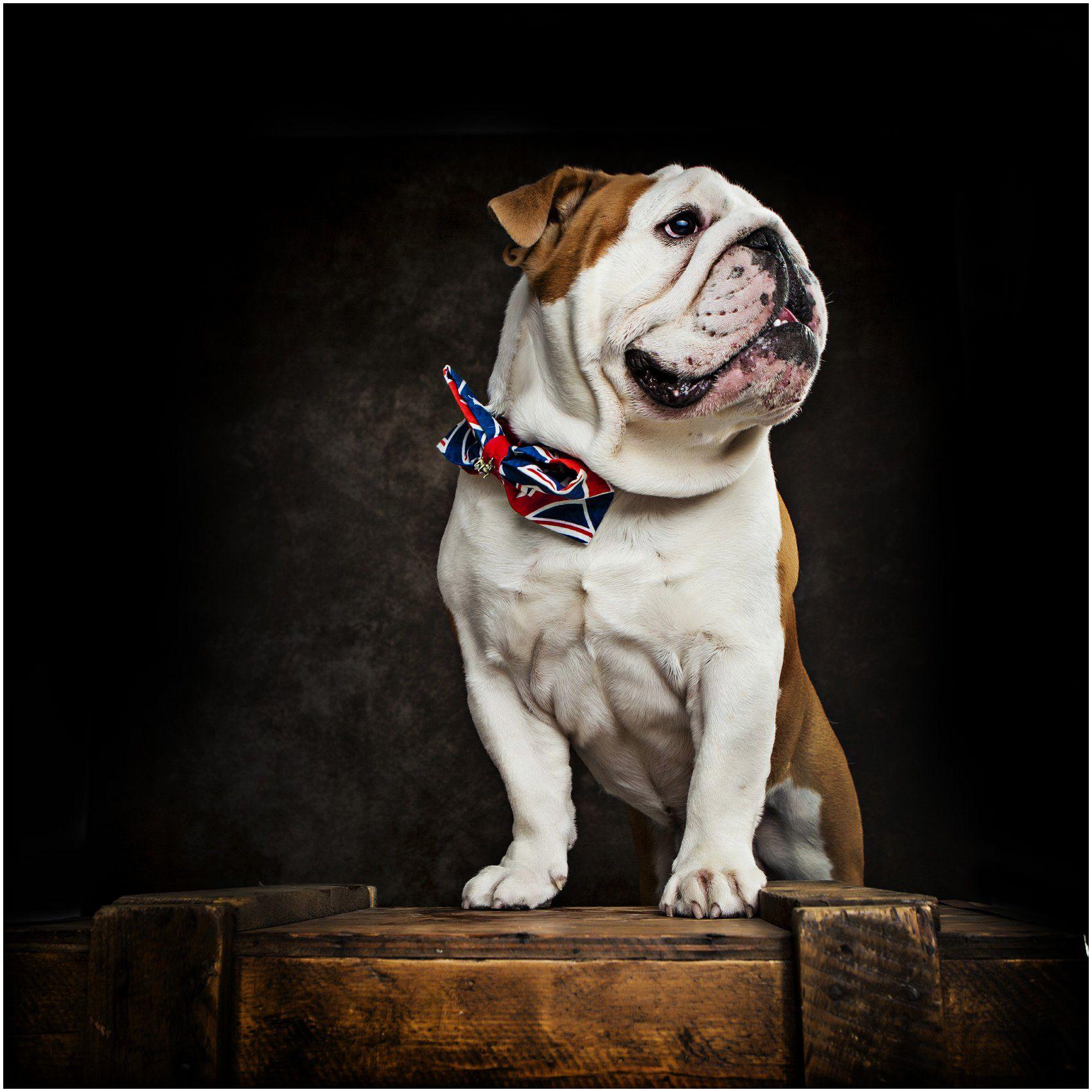 Pet Dog Portrait Photography Psy Buldog