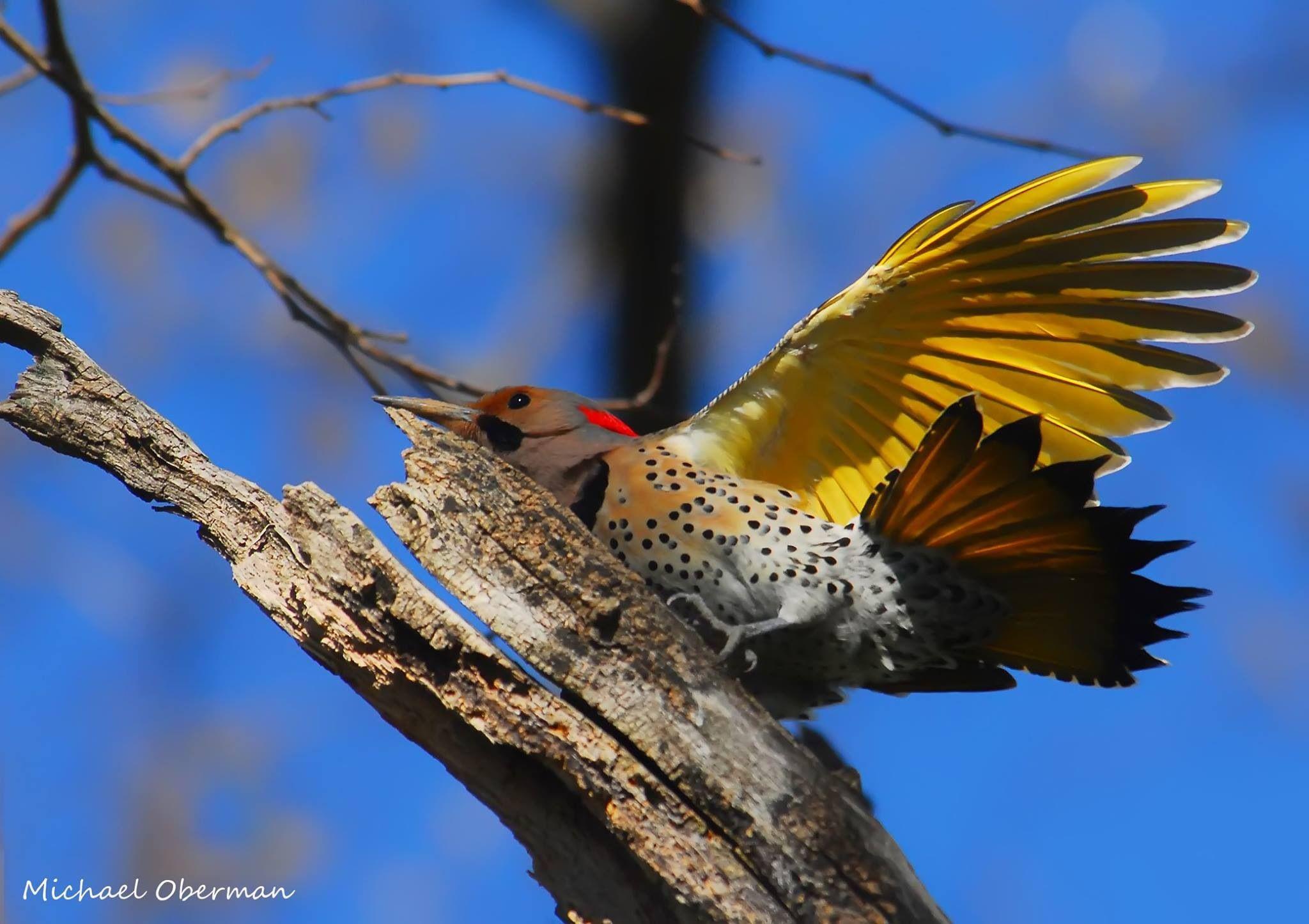 Sapsucker Northern flicker, Birds, Animals