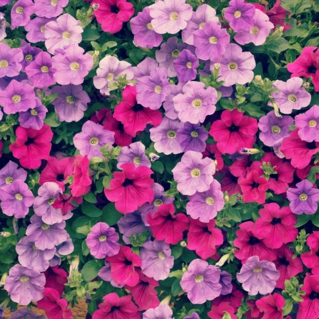 Send A Secret Message With Your Favorite Flowers Petunia Flower Container Gardening Flowers Flowers