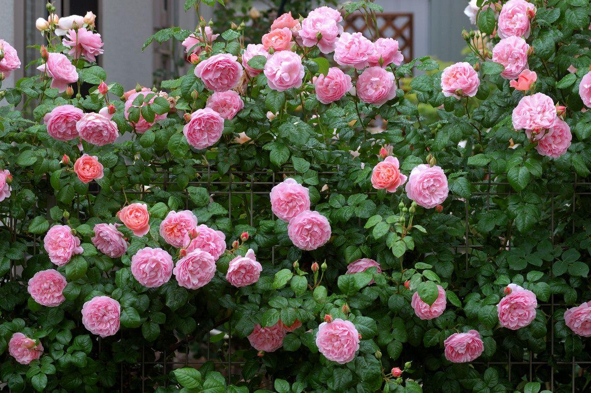 Strawberry Hill Rose Garden Inspirations Pinterest