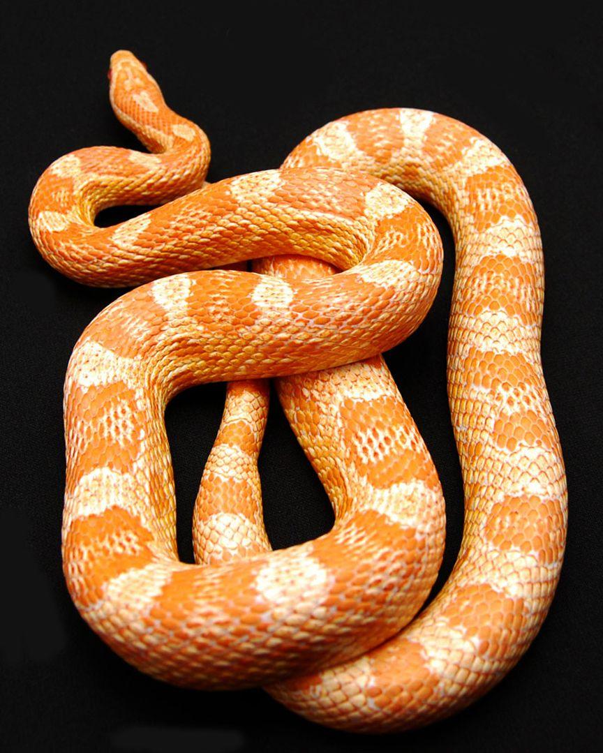 Fluorescent Orange Corn Snake Orange Snake | Project...