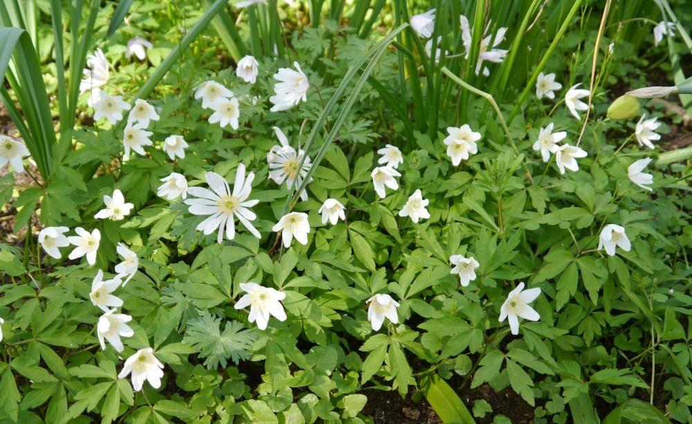 Buschwindröschen, Anemone nemorosa, Pflanzen, Pflege, Tipps - tipps pflege pflanzen wintergarten