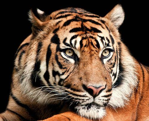 Sumatran Tiger Grosse Katzen Wilde Katzen Coole Tiere