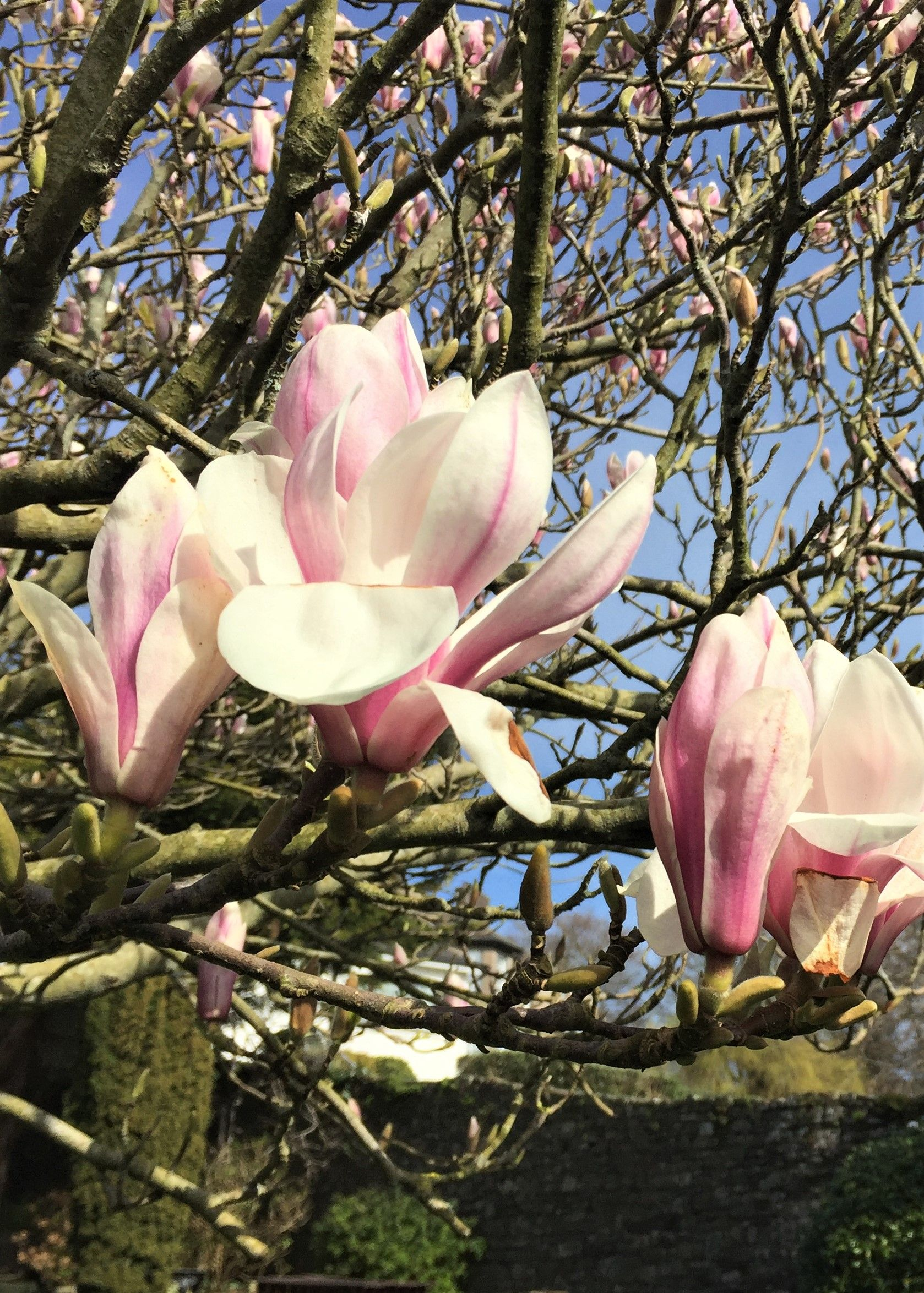 Magnificent Magnolia Goblet Blooms In Close Up
