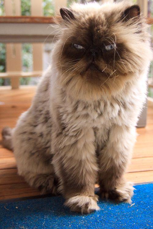 104 Grumpy Flat Faced Cats Flat Faced Cat Fluffy Cat Breeds Cats
