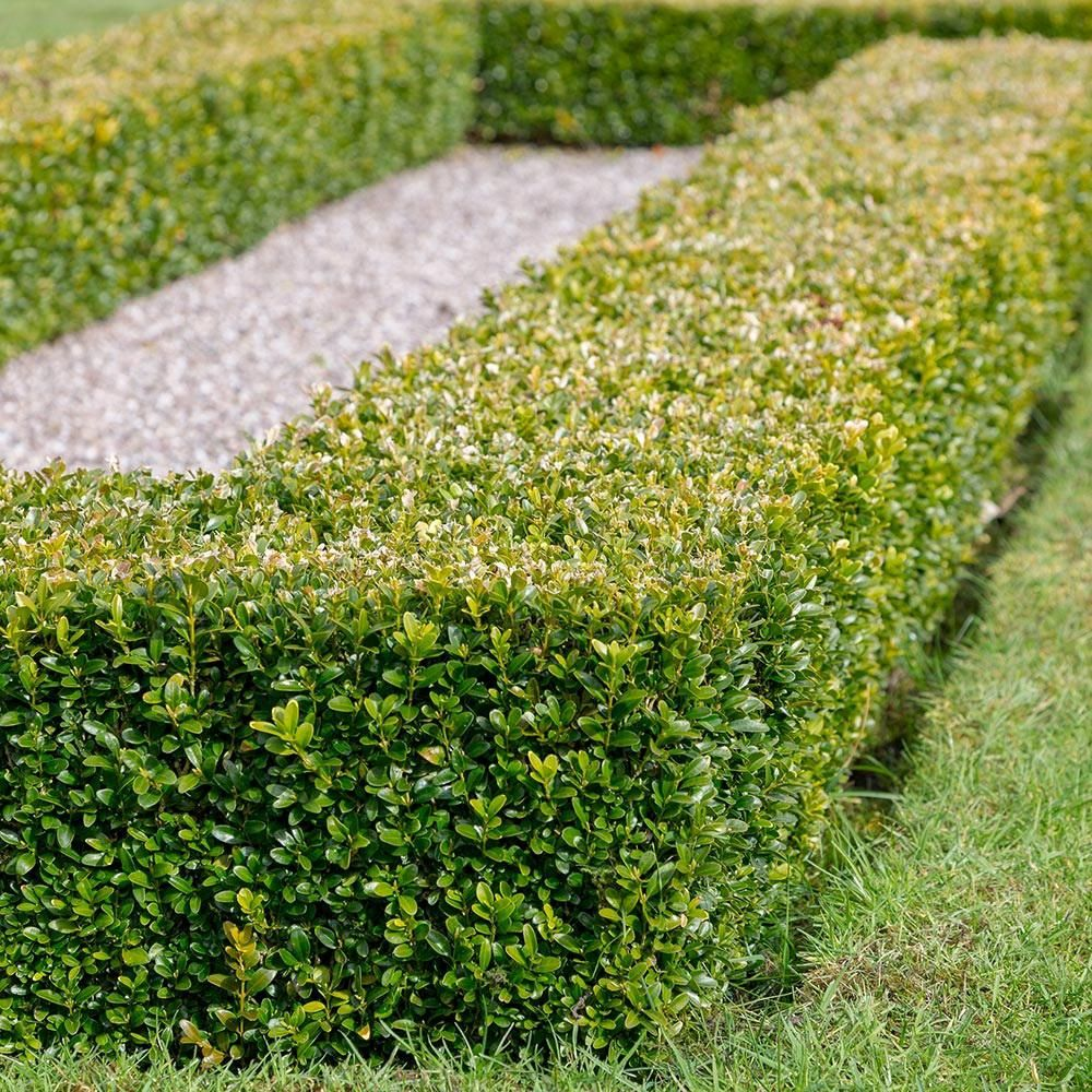 Flowerwood Nursery 9 25 In Pot Japanese Boxwood Live Shrub Plant Glossy Light Green Foliage In 2020 Evergreen Hedge Japanese Boxwood Planting Shrubs