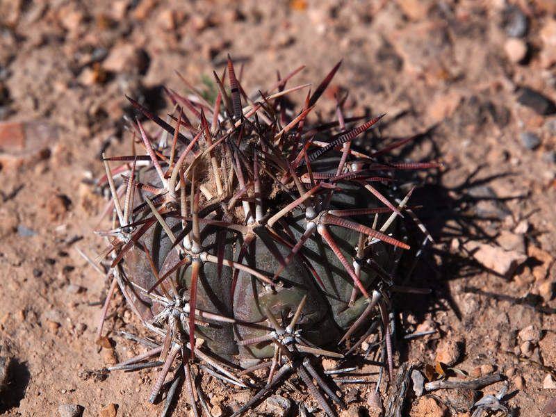 Echinocactus horizonthalonius WP2465, Est Gallegos, Zac
