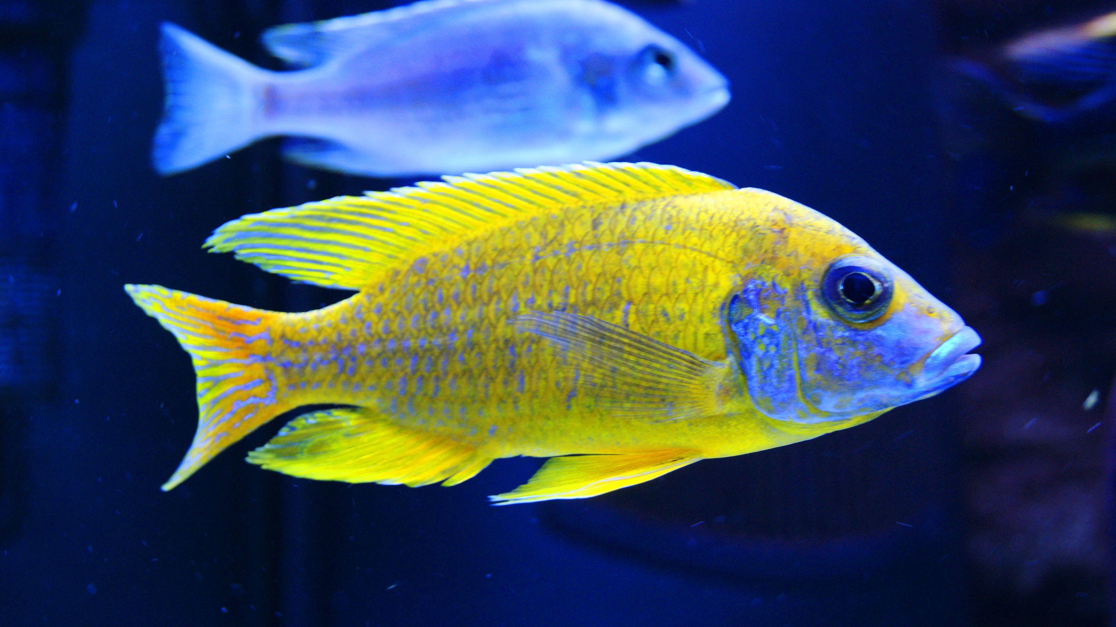 Aulonocara Sp Stuartgranti Maleri Sunshine Peacock Cichlid Freshwater Aquarium Fish Tropical Fish Aquarium Cichlids