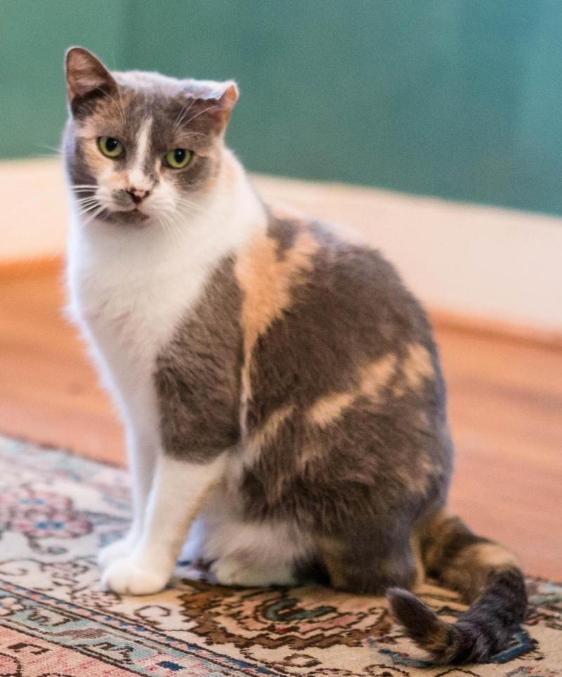 Adopt Julie On Grey Cats Mama Cat Adoption