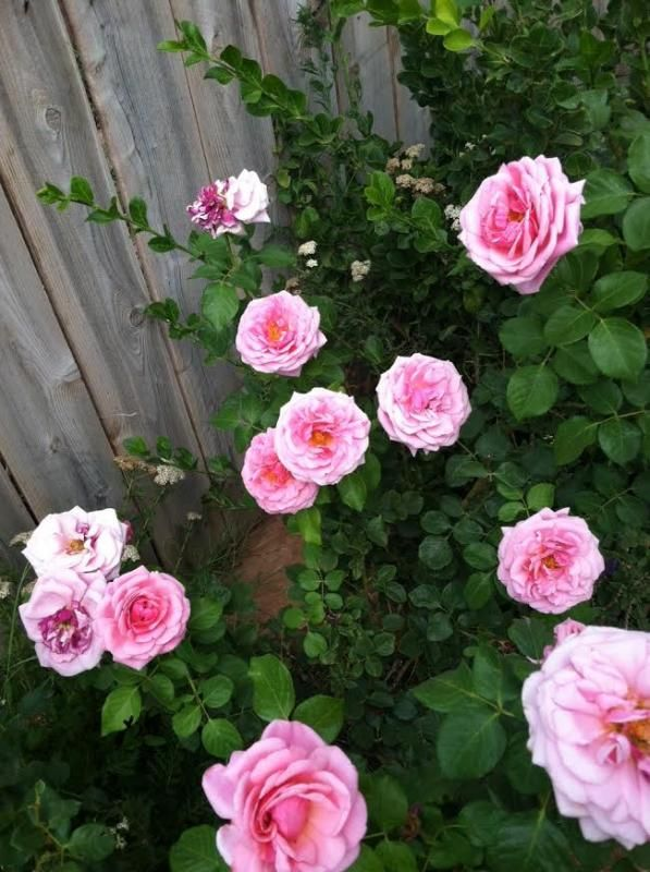 Aloha Climbing Roses Heirloom Roses Blooming Rose