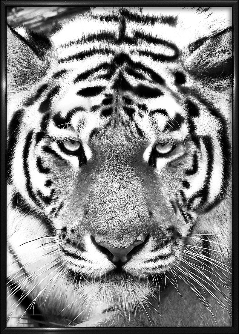 Tiger Black&White (With images) Black and white, Animal