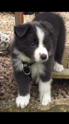 My Next Dog Pomeranian Mixed With A Husky What A Perfect Combination Collie Puppies Border Collie Puppies Dogs