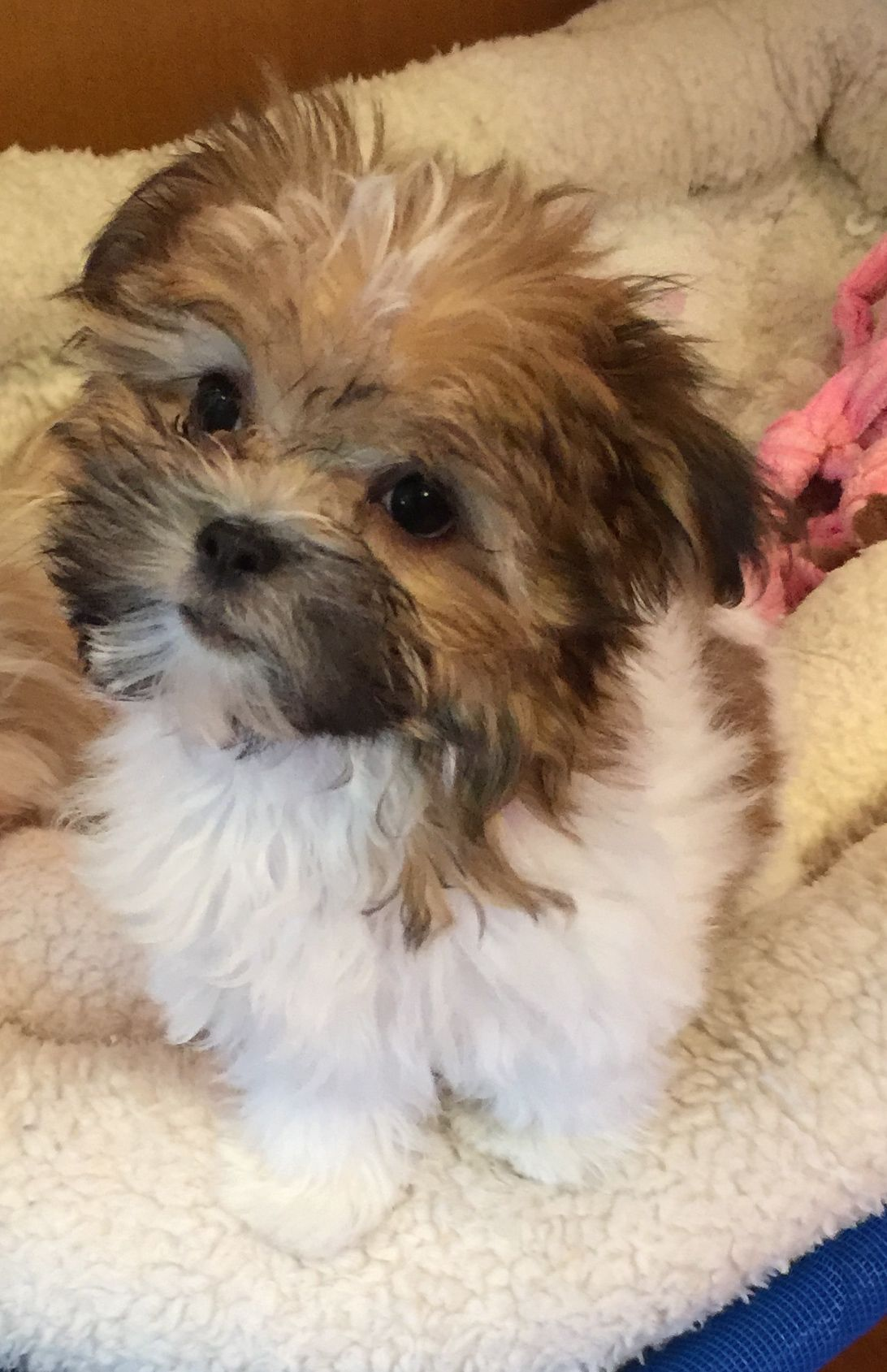 Available Puppies Cute Dogs And Puppies Miki Dog Cocker Spaniel Dog