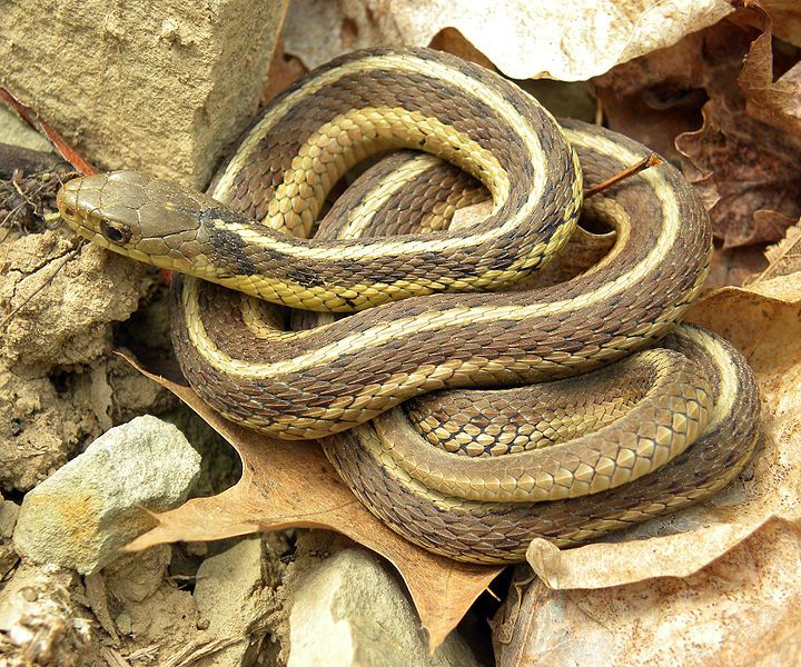 Common Garter Snake Thamnophis Sirtalis Is A Numerous Snake