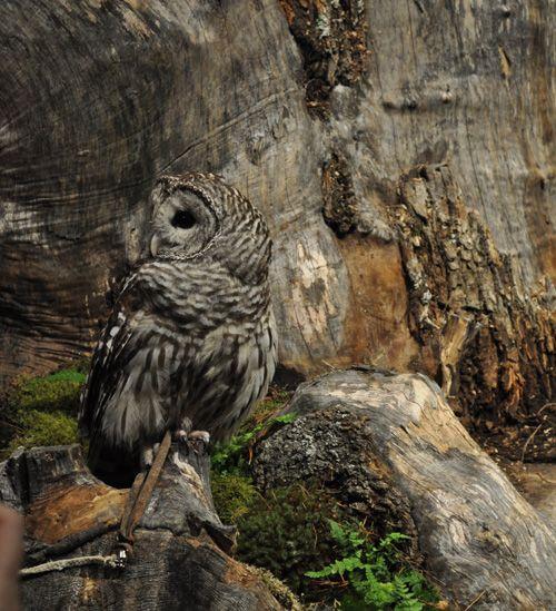Owl on tree stump