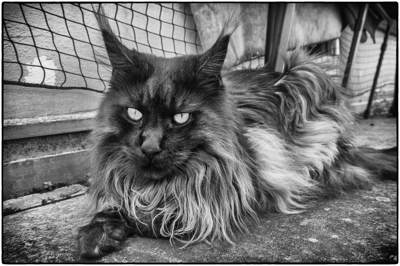 Photo: Cats never strike a pose that isn't photogenic. -- Lilian Jackson Braun, American writer  #cats #cat #catlovers #caturday #caturdayeveryday #animals #pets #mainecoon #quote #quotes #quoteoftheday #katzen #katze #SmokyTheCoon