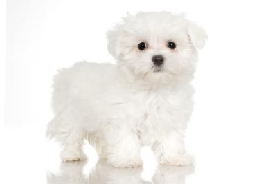 How To Whiten A Maltese Maltese Dogs Dog Eyes Dogs