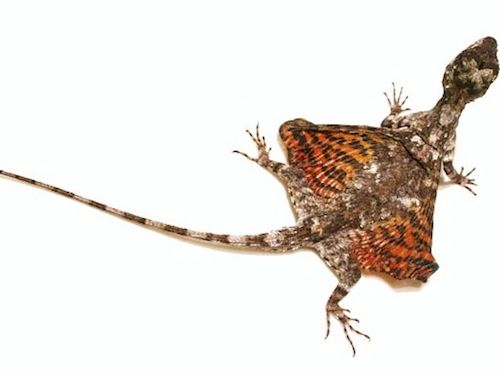 Flying dragon lizard for sale - Draco volans I really really want one of these guys!