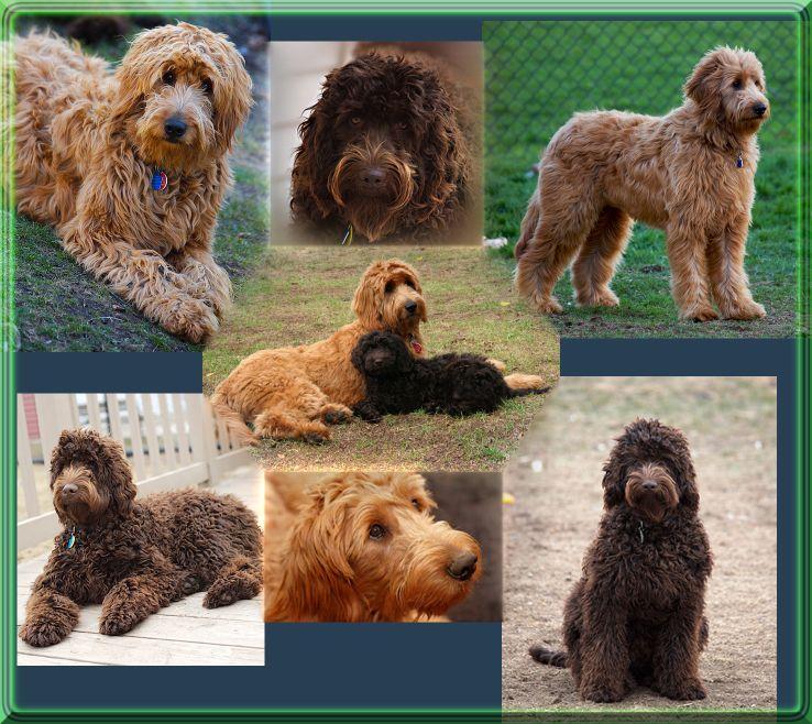Mueller S Woodville Kennels Kennel Woodville Wheaten Terrier