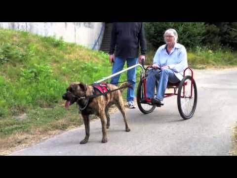 Teach Your Dog To Pull A Cart Youtube Dogs Dog Training