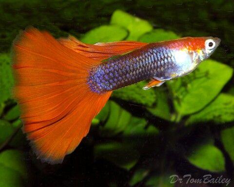 Guppy Orange Guppy Fish Guppy Aquarium Fish