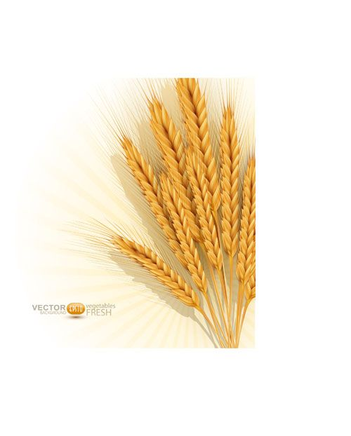 Golden wheat background vector set 01