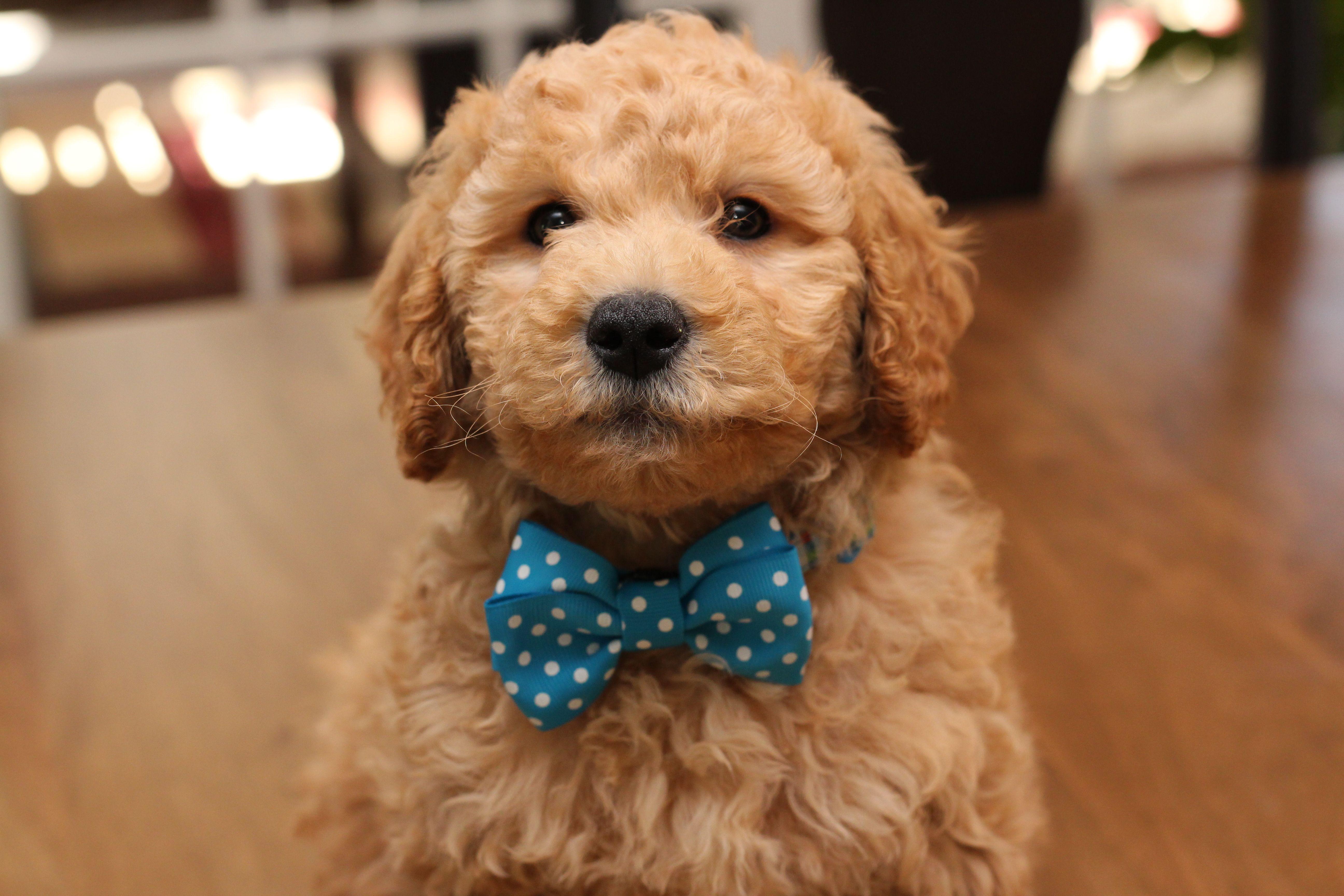 Mini Goldendoodle Puppy At 8 Weeks Old Orange Collar Boy River