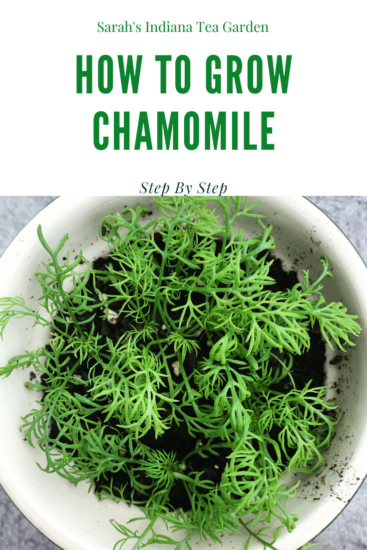 How To Grow Chamomile Step By Step Chamomile Growing Chamomile Plant Chamomile Seeds