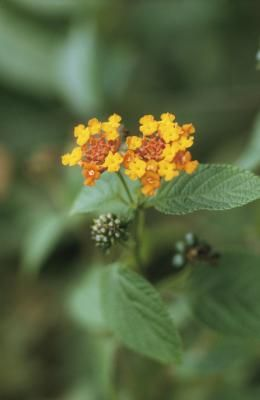 What Is The Difference Between Lantana Verbena Rock Garden Plants Lantana Plant Lantana