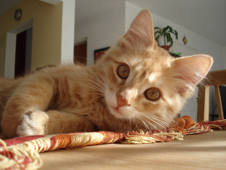 Elvis El Gato Más Lindo Ginger Cats Orange Cats Cats
