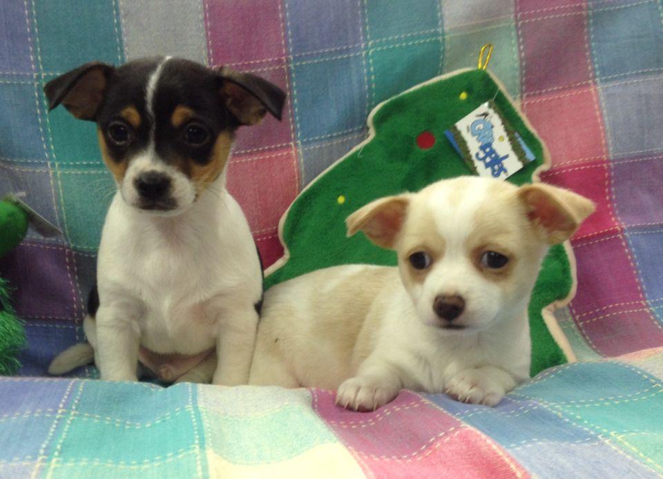 Chihuahua Rat Terrier Mix Hendersonvillepetshop Com Rat