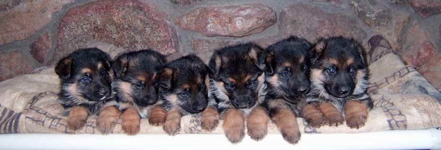 Average Price Of A German Shepherd Puppy German Shepherd Puppies