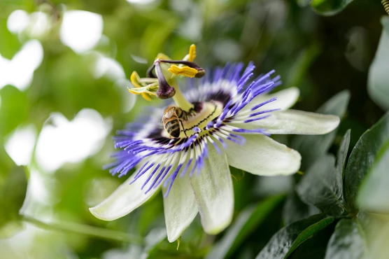 How To Grow Passion Flowers Passion Flower Plants Common Garden Plants
