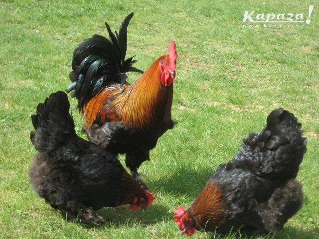 marans koperhalsde kip met diepbruinroodgekleurde eieren   zware