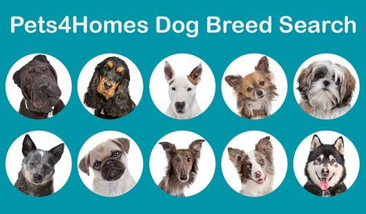 Dog Breeds Dog Breed Rankings And Buying Advice Pets4homes In 2020 Dog Breeds Dog Breed Selector Dog Coats