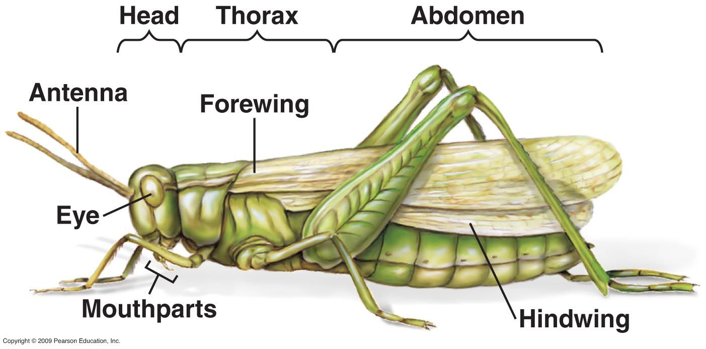 external morphology of grasshopper