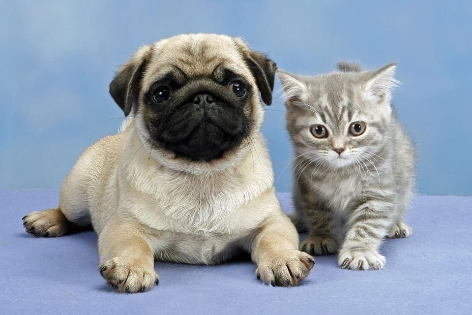 Pug Wallpaper, Screensaver, Background. Cute Pug Puppy & Kitten