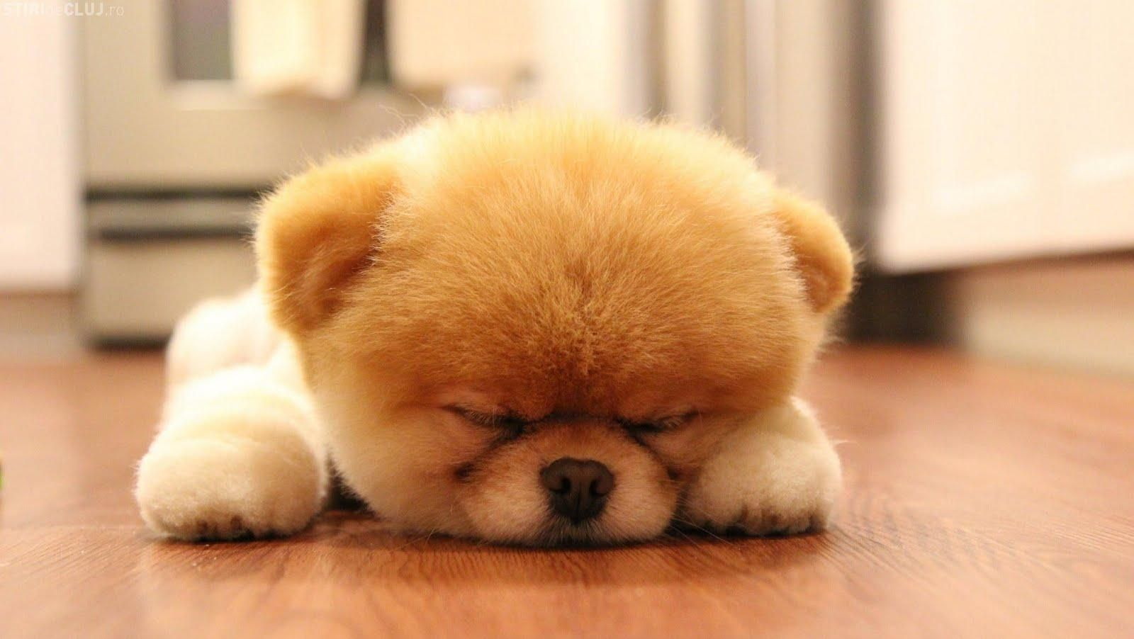 Boo Dog Hd Wallpapers Boo The Dog Bear Puppy Cute Baby Animals