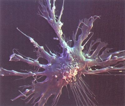 Dendritic Cells Diagram Dendritic Cell Microscope