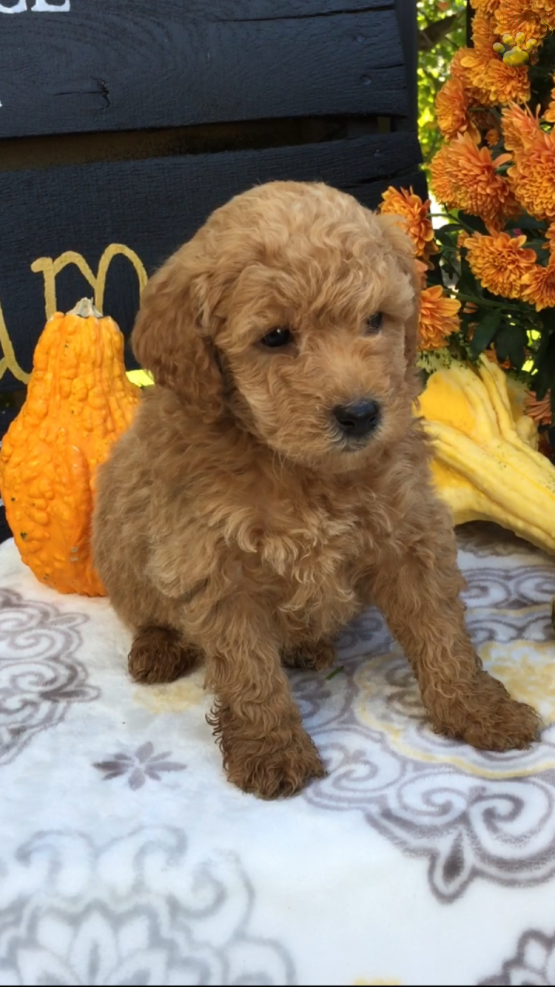 Dexter F1b Mini Goldendoodle Puppy For Sale In Strasburg Pa Lancaster Puppies Goldendoodle Puppy Mini Goldendoodle Mini Goldendoodle Puppies