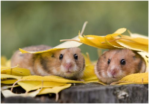 I miss my little hamsters <3