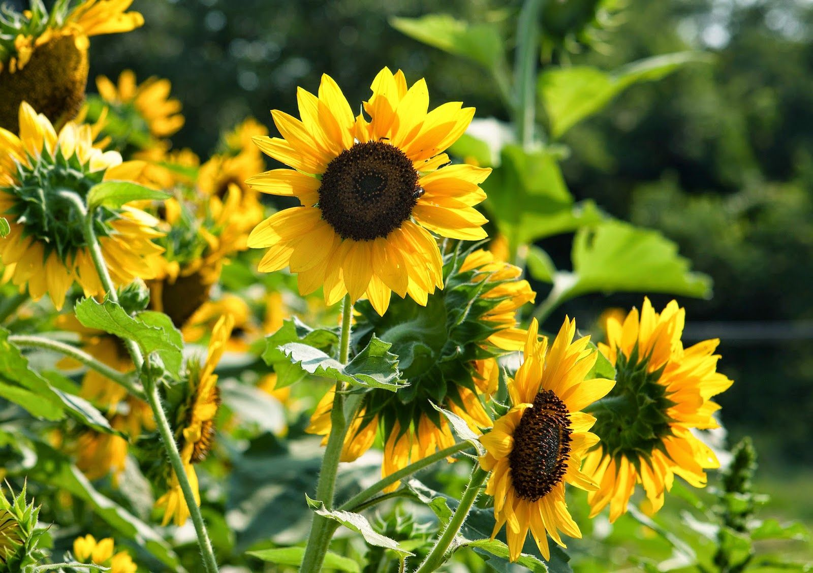 Resultado De Imagem Para Kansas State Flower 해바라기