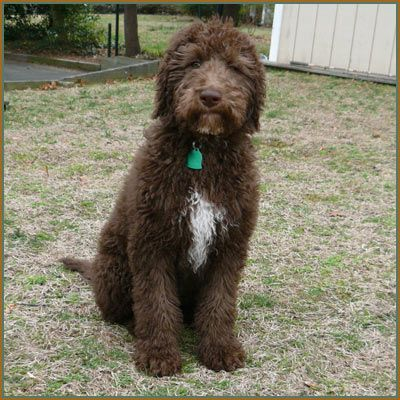 Chocolate Aussiedoodle Google Search With Images Labradoodle