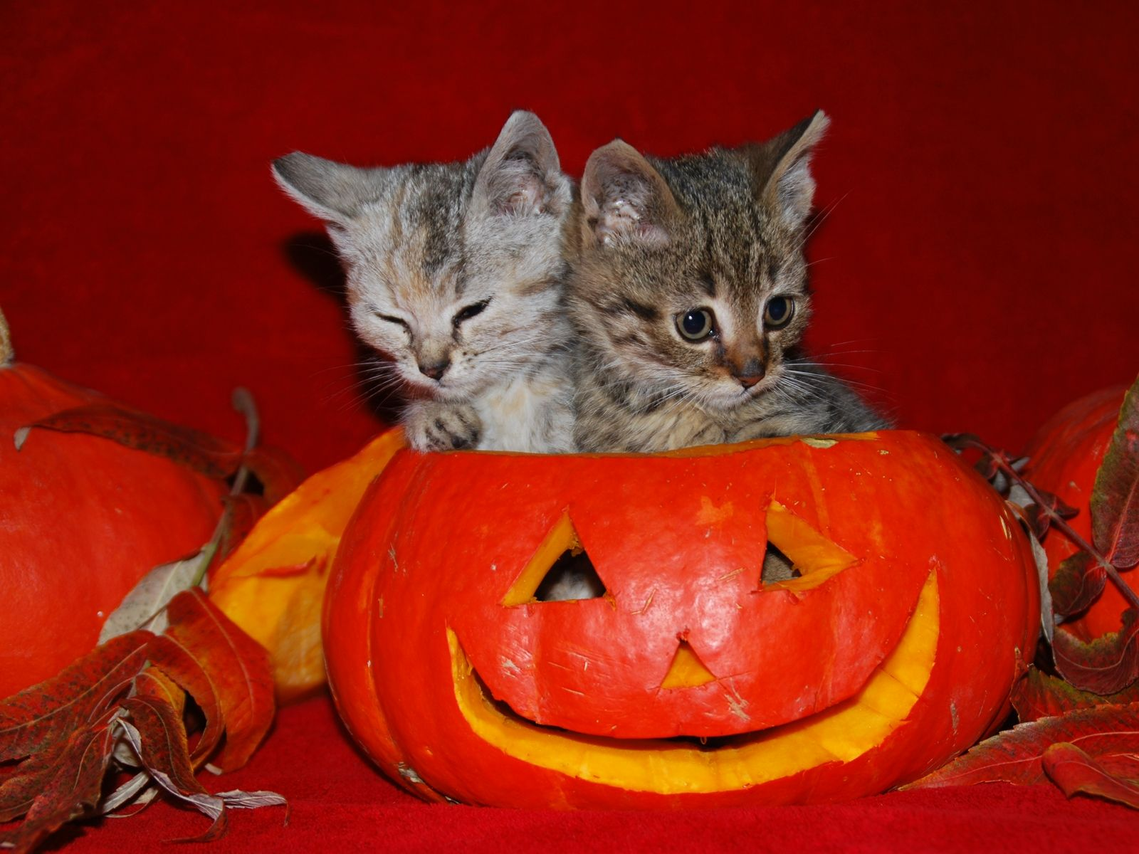 Image Detail For  Cute Halloween Kitties Wallpaper