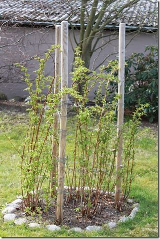 Growing Raspberries In Mounds I Like This Idea Because It Keeps