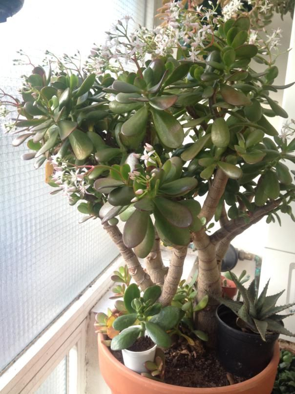 Crasula ovata apartaestudis - Cactus porte bonheur ...