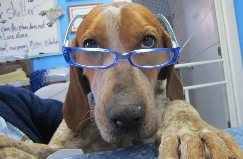 Sampson Mega Urgent Past Euth Date Needs Sponsor Pledges Rescue English Coonhound 4 Yrs Sweet English Coonhound Coonhound Animal Rescue