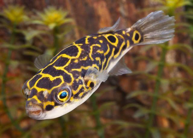 Pics Info Freshwater Fish Species Profiles Ikan Akuarium Ikan Air Tawar Ikan Tropis
