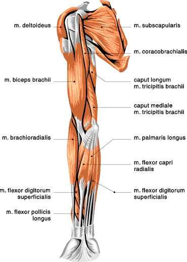 muscles of the arm anterior view | muscular anatomy | pinterest, Human Body