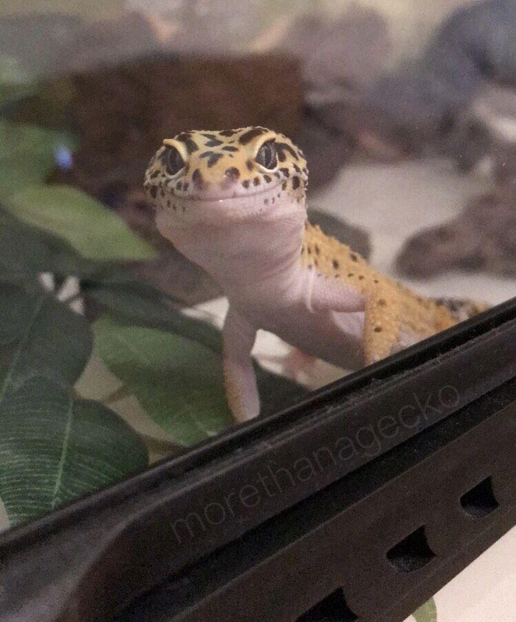 Pin by Krysta Monk on Leopard Geckos